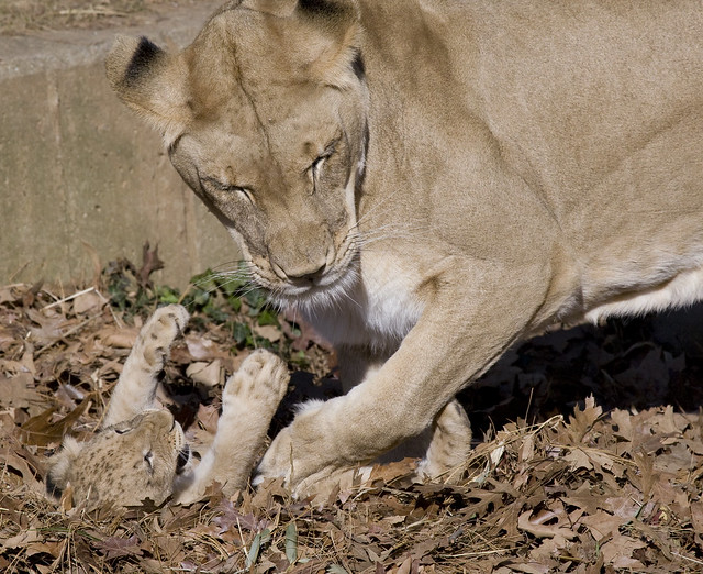 Smithsonian s national zoo s lion cubs now on exhibit flickr photo
