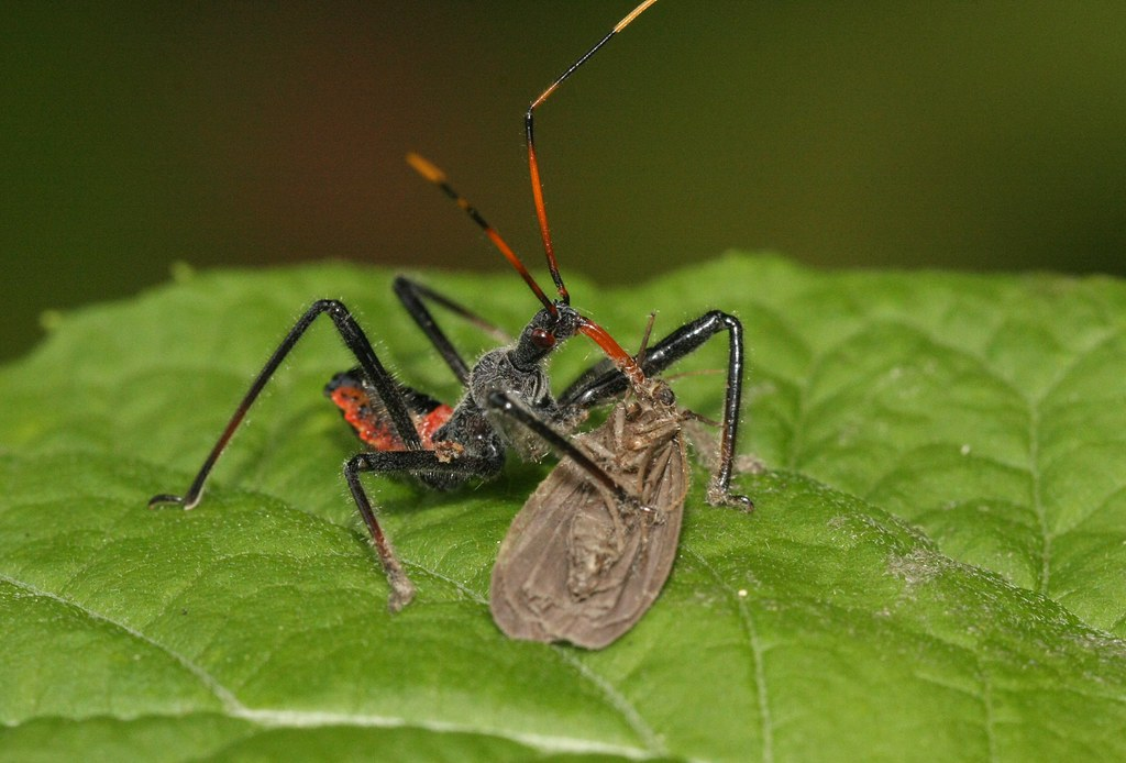 Assassin Bug Nymph | This assassin bug nymph is consuming ...