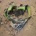 Welwitschia mirabilis loves you! Angola