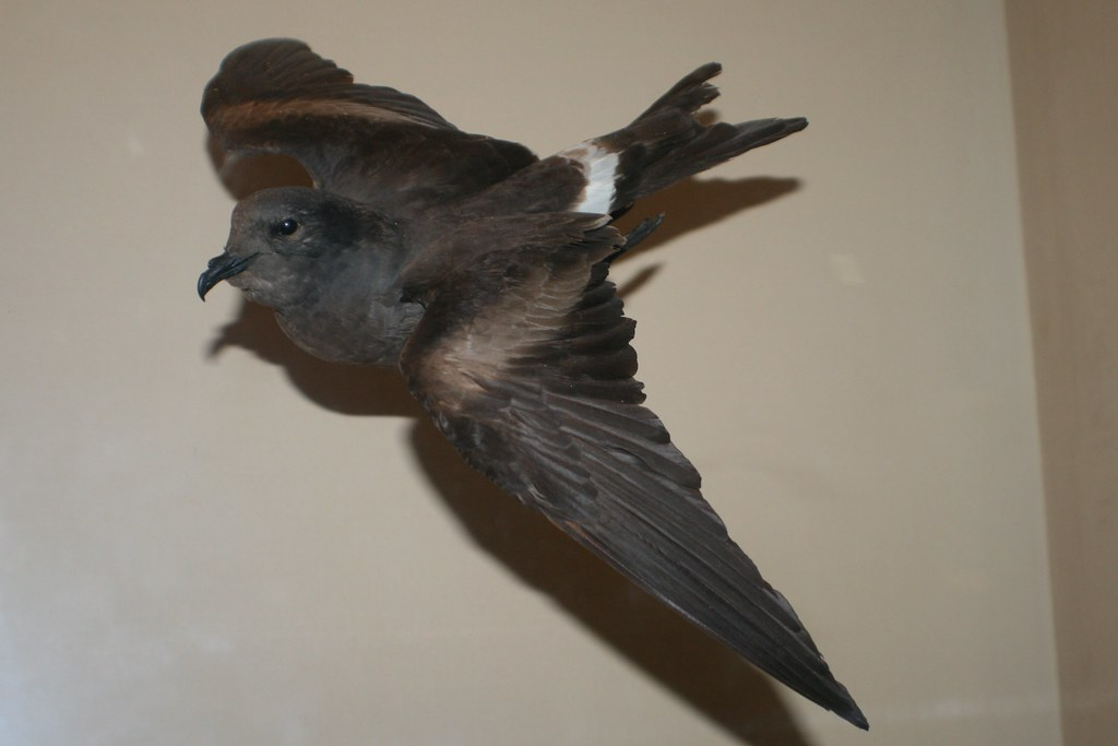 Oceanodroma macrodactyla (Guadelope Petrel; Guadelope Stor ...