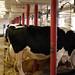 Feeding Time in the Dairy Barn, II