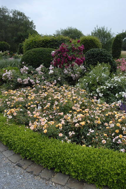 Landscaping With Boxwoods And Roses : Flower carpet amber boxwood along walkway flickr