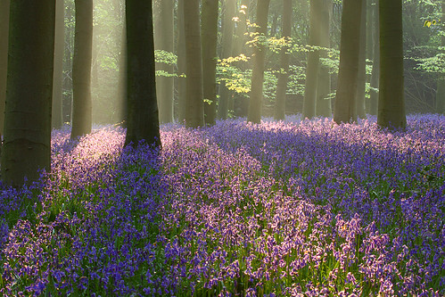 Bluebells, Micheldever Woods | by craig.denford