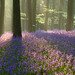 Bluebells, Micheldever Woods