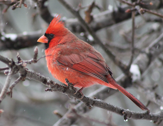 Male cardinal in the snow flickr photo sharing - Pictures of cardinals in snow ...