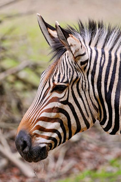 Zebra face profile - photo#15