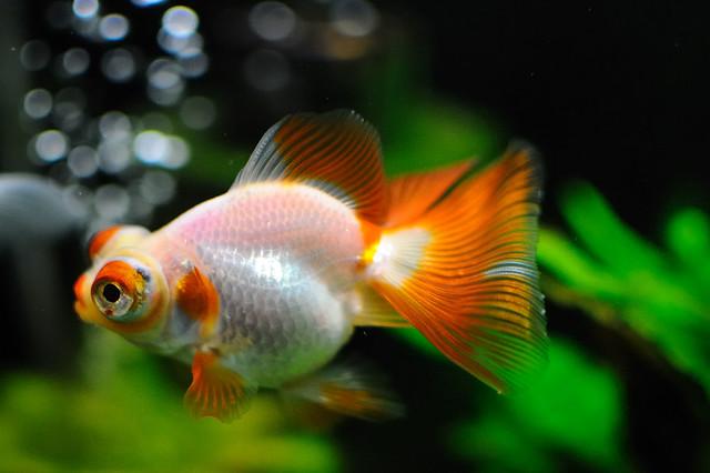 Золотая рыбка - бабочка, фото аквариумные рыбки фотография картинка
