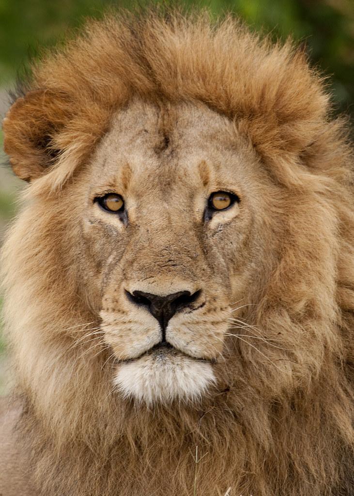 Lion portrait | Tarique Sani | Flickr