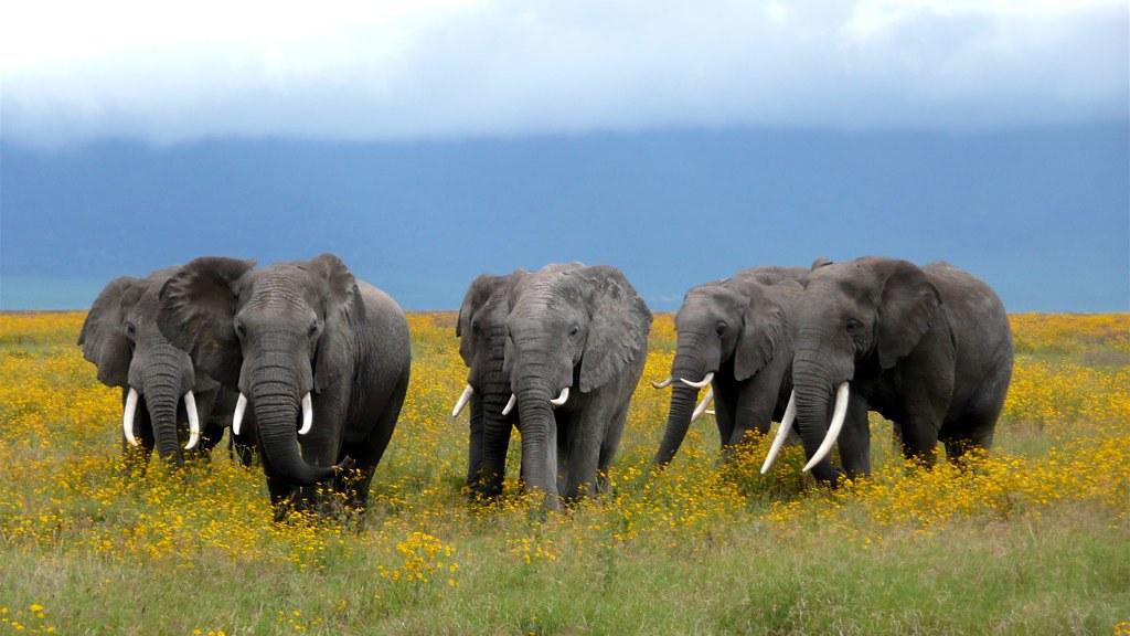 african elephant herd ngorongoro crater in tanzania