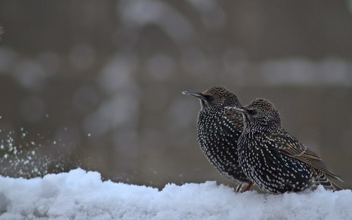Starlings or Statler and Waldorf | by Tony Mulraney