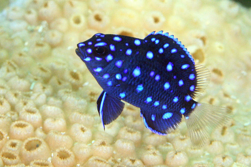 yellowtail damselfish juvenile | It only takes about a ...