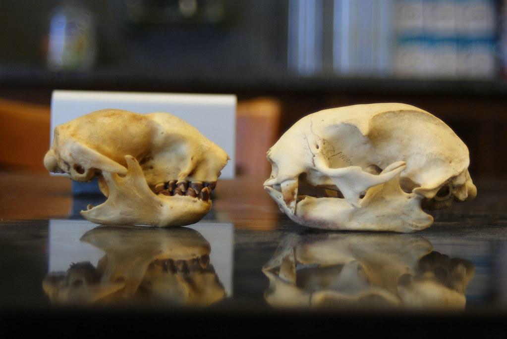 Are Elephants Mammals >> Three toed (Bradypus variegatus) and Two toed (Choloepus h… | Flickr