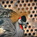Black Crowned Crane - Koonj