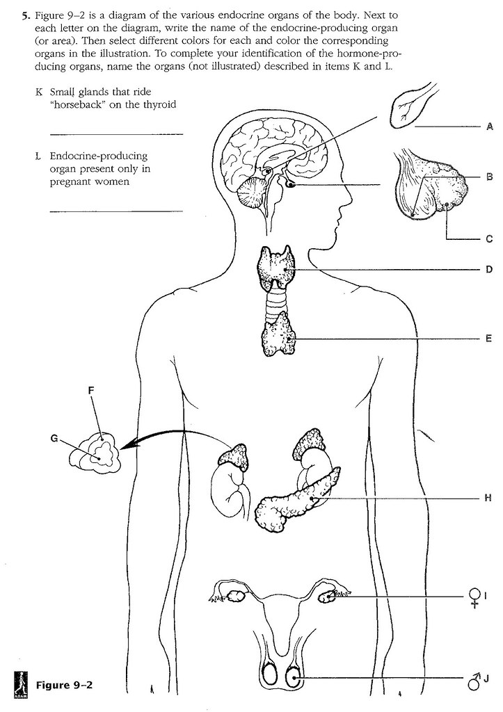 Endocrine System Diagram Worksheet Page 160 | timothyakel...