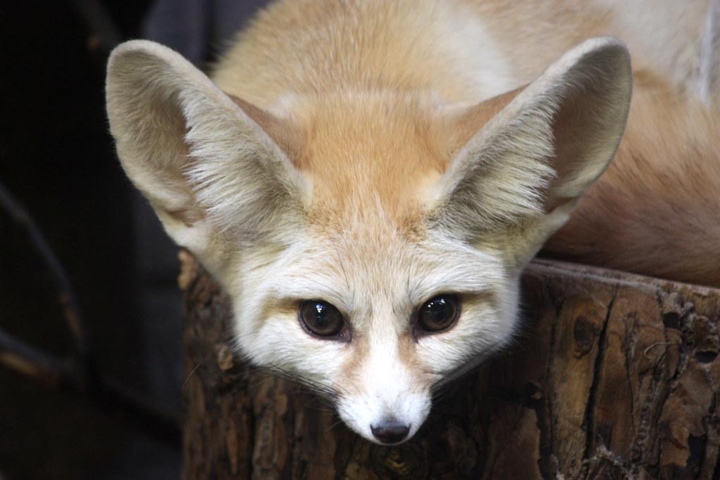 desert fox eye to eye fennec fox vulpes zerda