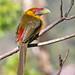 Araçari-banana - Saffron Toucanet (Pteroglossus bailloni)