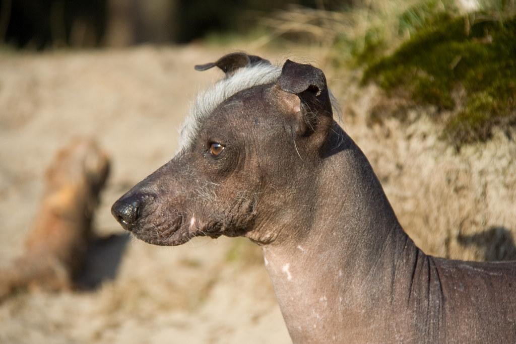 Naqui Peruvian Hairless Dog 27 March 2011 Soestduinen