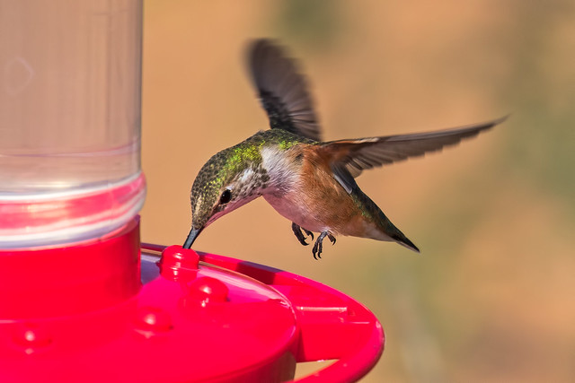 Broad-tailed-Hummer-5-7D2-093016