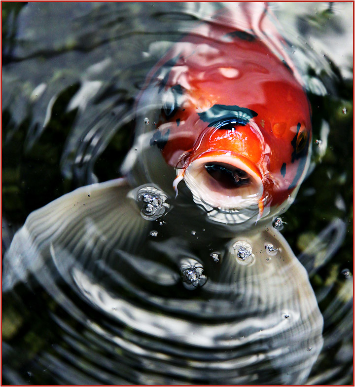 Dazzle top 10 longest living animals on earth for Oldest koi fish