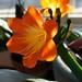 fond farewell to clivia's blossoms
