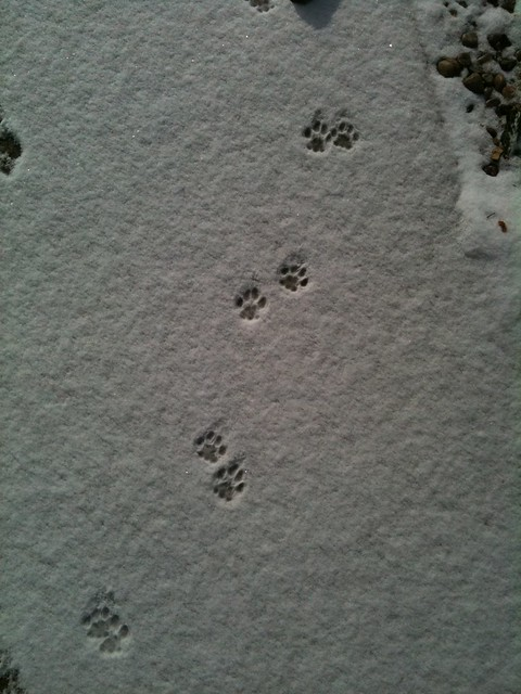 The gallery for --> Fisher Cat Tracks In Snow