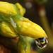 Raindrop on Forsythia #1