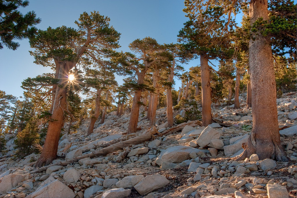 High altitude lodgepole pine forest | San Gorgonio ...