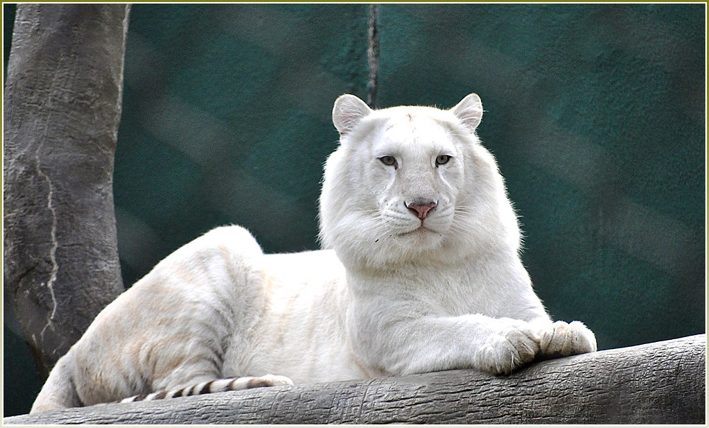 White Siberian Tiger With Blue Eyes Cubs Rare white tigerWhite Siberian Tiger Eyes