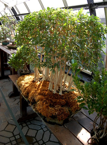 144 bonsai ficus benjamina 39 natasha 39 flickr photo sharing. Black Bedroom Furniture Sets. Home Design Ideas
