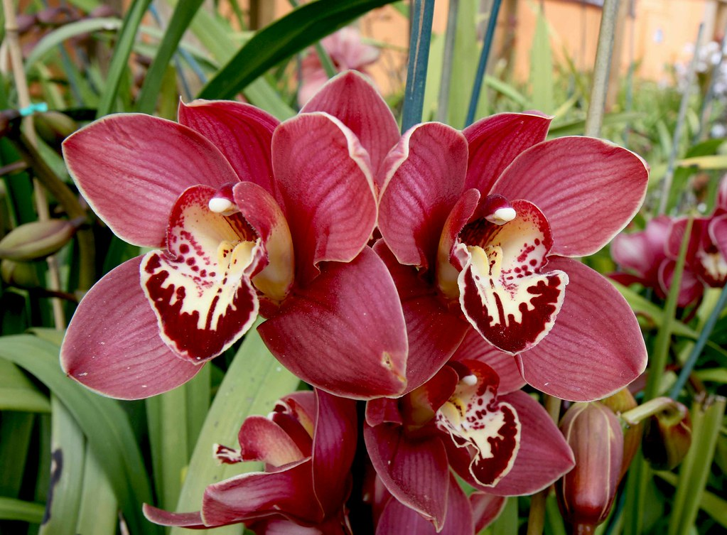 Cymbidium Orchid Colors Cymbidium Orchid Regal Ruby