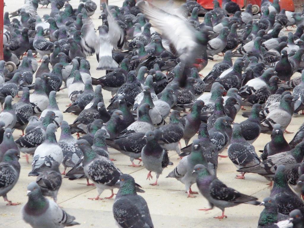Pigeon Reeba Flickr