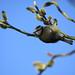Blue tit - spring 2011