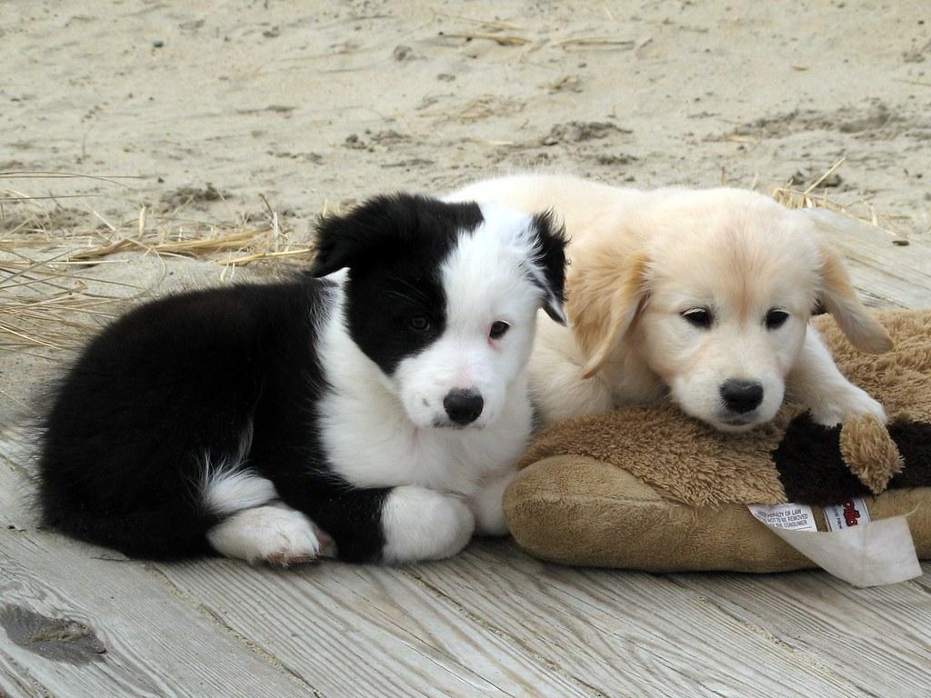 Free Puppy Dog Animal Shelter Near Carol Stream Il