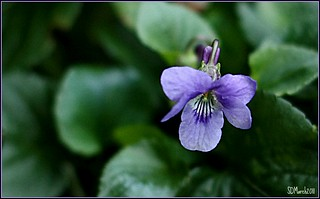Delicate violet | by Sandi (VERY busy lady)