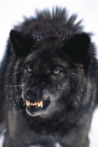 black wolf beautiful i �� t r a g e d y flickr