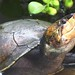 Madagascan Big-headed Turtle (Erymnochelys madagascariensis) © Anders G.J.Rhodin