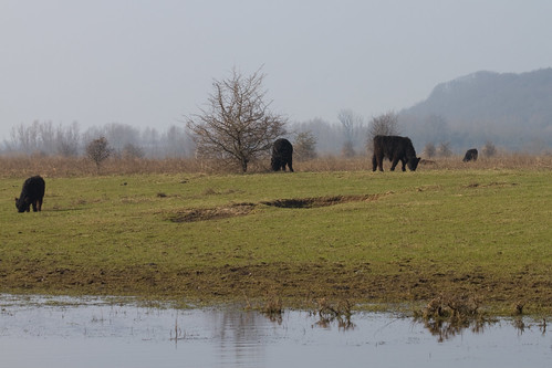 Galloway cows in nature reserve blauwe kamer rhenen nl flickr photo sharing - Blauwe kamer ...