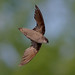 Chimney Swift07