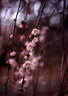 plum | by ditao