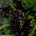 Fredclarkeara After Dark 'SVO Black Pearl' FCC