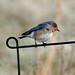 Eastern Bluebird 5_3
