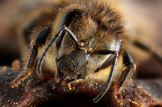 Honey bee portrait | by Gilles San Martin