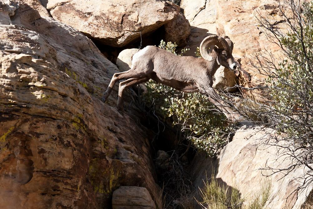 Ram Big Horn >> Rock Jumping | Big Horn Ram Red Rock Canyon Nevada | James Marvin Phelps | Flickr