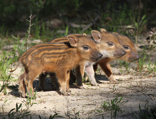 Cute Baby Boars | by Jacqui Herrington:
