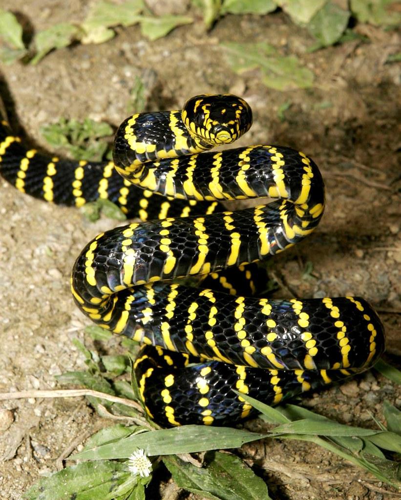 Black Mangrove Cat Snake