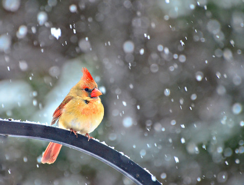 A Snow Bird Too | by Jeff Clow