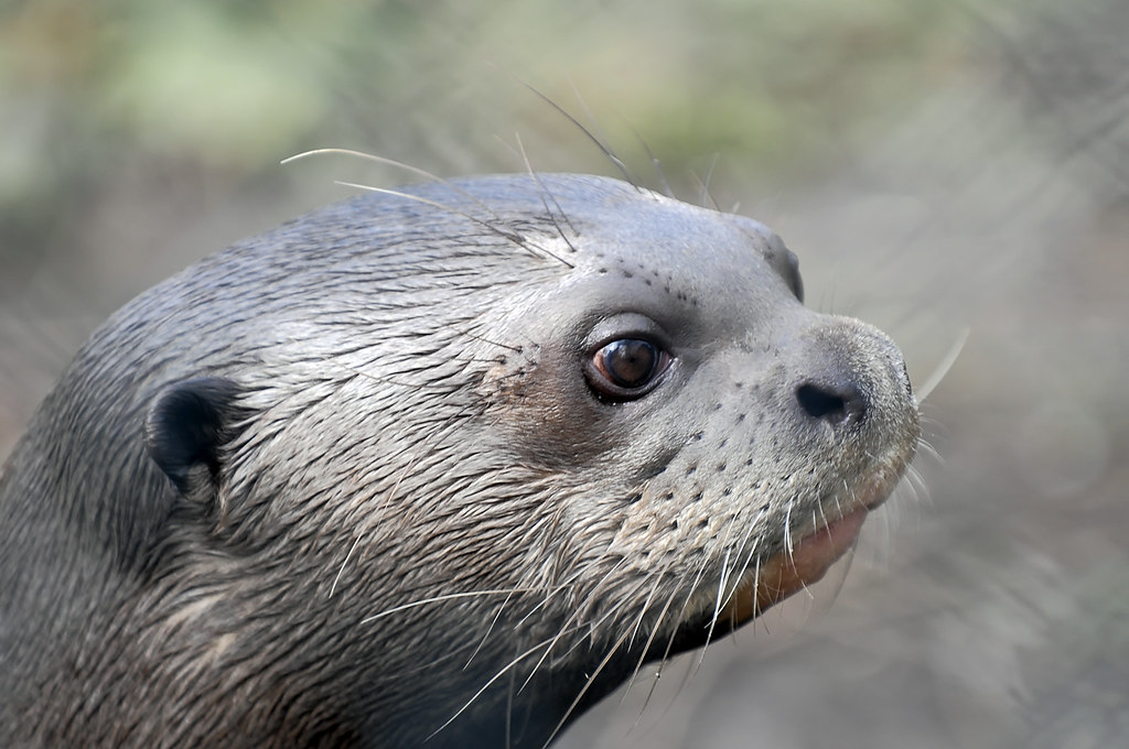 Cute Giant Cute Giant Otter | by