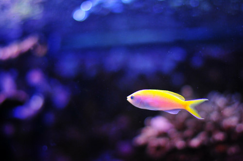 Fish yellow and pink and white salt water tank flickr for Pink saltwater fish