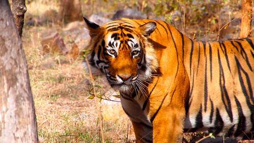 Tiger in Ranthambore National Park, India | by bjoern