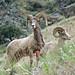 Bighorn rams, Frank Church Wilderness, ID